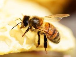 Materská kašička - elixír plodnosti včelích kráľovien